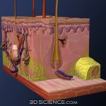 3d_model_anat_skin_crosssection_web1