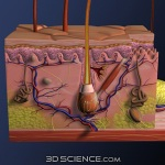 3d_model_anat_skin_crosssection_web2