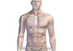 P:Projects3dsci2bDONEcirculatorymale_circulatoryarteries of the arm