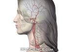 circulatory_arteries_head_neck_female_web