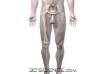 circulatory_arteries_pelvis_male_web
