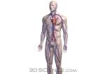 circulatory_complete_male_web