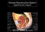 diagram_reproductive_sagittal_female_web
