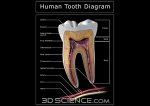 diagram_tooth_section_web