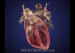 heart_3.0_anterior_cut_web