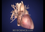 heart_3.0_lateral_right_web
