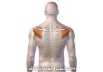 muscles_rotary_cuff_male_web