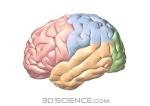 nervous_brain_colored_lobes_web