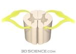 nervous_spinalcord_cervicalsection_web